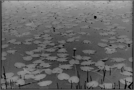 Elliott Burns Photo Lily Pads